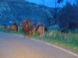 Theodore Roosevelt National Park, ND 2009 ...and then they surrounded the car.