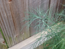 They are tiny. There are about 6 caterpillars on this dill frond.