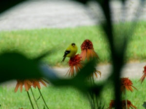 I had to shoot this through the window screen and frame with sunflower leaves.