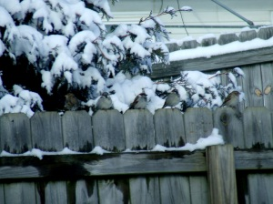 Not as sharp as I'd like, but these sparrows were cute in their line up.