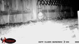 10:33 p.m. possum or  a tiny bear